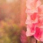 Beautiful pink gladiolus. Soft tone — Stock Photo #53420631