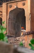Sadhu sitting at window of Chaturbhuj Temple — Stock Photo