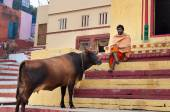 Indian Sadhu with the sacred cow on the steps of the Kshameshwar Ghat in Varanasi — Stock Photo