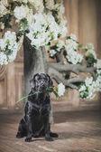 Dog, Labrador, interior, flowers, beautiful — Stockfoto