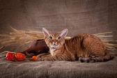 Cat, devon rex, cute, cat — Foto de Stock