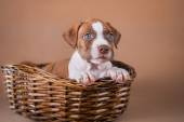 Pet American Pit Bull Terrier puppy cute — Stock Photo