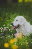 Dog breed Golden Retriever — Stock Photo