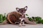 Chihuahua dog, puppy on a color background — Stock Photo