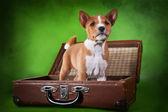 Little Basenji puppy — Stock Photo