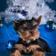 Yorkshire Terrier puppy — Stock Photo #54563659
