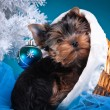 Yorkshire Terrier puppy — Stock Photo #54563681