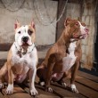 Dog breed American Pit Bull Terrier — Stock Photo #54567933