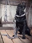 Dog breed Italian Cane Corso — Stock Photo