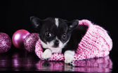 Chihuahua dog, puppy on a color background — Foto de Stock