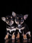 Chihuahua dog, puppy on a color background — 图库照片