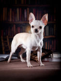 Chihuahua dog, on a color background — Stock Photo