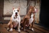 Dog breed American Pit Bull Terrier — Stock Photo