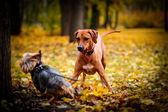 Autumn Dog breed Rhodesian Ridgeback — Stock Photo