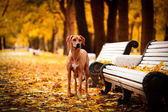 Autumn Dog breed Rhodesian Ridgeback — Stock Photo