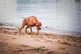 Pies rasy rhodesian ridgeback — Zdjęcie stockowe