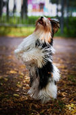 Biewer york dog on the nature — Stock Photo