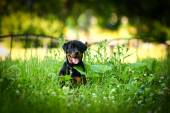 Rottweiler dog on the nature — Foto Stock