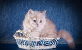 British kitten on a colored background — Stock Photo