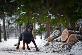 Doberman dog in the snow — Stock Photo