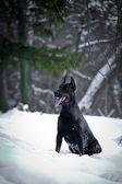 Doberman dog in the snow — Stock Photo