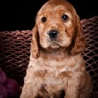 Puppy breed American Cocker Spaniel — Stock Photo #54639249
