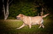 Dog labrador retriever on nature — Stock Photo