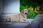 Dog labrador retriever on nature — Stock Photo