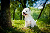 West Highland White Terrier in nature — Stock Photo