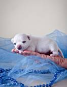 Chihuahua dog, puppy on a color background — Photo