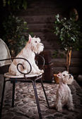 White miniature schnauzer dog — Stock Photo