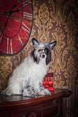 Chinese crested dog — Stock Photo