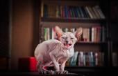 Sphynx kitten — Stock Photo