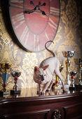 Sphynx kattunge — Stockfoto