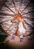 Afrikanische Basenji Hund — Stockfoto