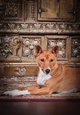 African basenji dog — Stock Photo