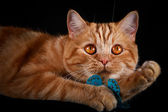 Red tabby cat, portrait, on a black background — Stock Photo