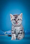 Scottish kittens — Stock Photo