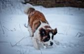 Saint Bernard hund promenader i parken, vinter — Stockfoto