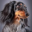 Постер, плакат: Dog breed dachshund