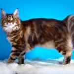 Maine Coon kitten — Stock Photo #54642409
