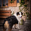 Dog breed Australian Shepherd — Stock Photo #54644931