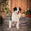 Dog breed Australian Shepherd — Stock Photo #54645023