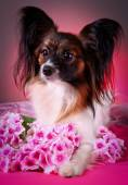 Papillon dog on a colored background — Stockfoto