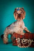 Cachorro yorkshire terrier — Foto Stock
