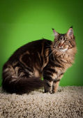 Maine coon cat on a colored background — Stock Photo