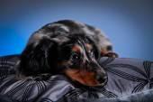 Собака породы такса — Стоковое фото