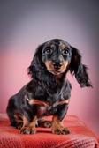 Dog breed dachshund — Stock Photo