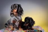 Teckel de race de chien — Photo