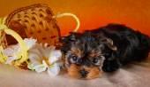 Yorkshire Terrier puppy — ストック写真